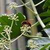 ヤツデの花と蜂