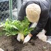 菜園プロジェクト 大根収穫!!