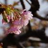 早くも河津桜が咲き始めました(後編)