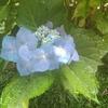 パパイヤの種まきの時期は6月のようだ。