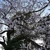 🌸上野公園で桜を見てきました!