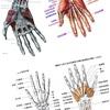 手の筋肉、指の筋肉