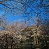 桜満開🌸!千鳥ヶ淵散策