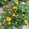 菊やヒューケラなど秋色な花が入荷♪(*^▽^*)