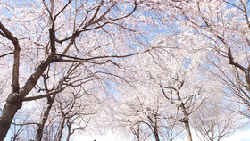 桜のトンネルが綺麗!東山動植物園「桜の回廊」を散歩してきました