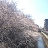 今年も桜が見れた奇跡