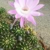 5月11日家の家庭菜園「サボテンの花はやっぱり綺麗だ」