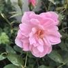 バラのプロの剪定跡に学ぶ。バラの夏の花他