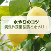 【レモン栽培】病気や落花の原因にも!最適な「水やり」の方法【柑橘類の育て方】