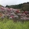 南信州阿智村の花桃の里に行ってきた