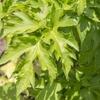 糖質制限の便秘対策に明日葉の根っこ!マイケアの「ふるさと青汁」