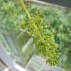 シャインマスカットを収穫しました!