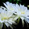 【夢日記】白い花、アサイーボウル