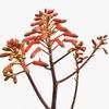 アロエ(クチベニアロエ、千代田錦)の花