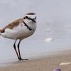 🐦野鳥の回🆕【72】海へ行く。シロチドリ(白千鳥)
