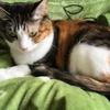 お久しぶり!ミケ猫アンヌさんの愛猫日記