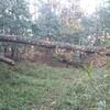 薪ストーブ始生代54 茶畑山で薪仕事~一番の巨木くぬぎを片付ける
