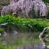京都御苑・出水のしだれ桜
