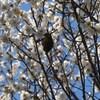 梅に急ぐ~早春の大宮公園界隈~