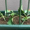 家庭菜園始動きゅうりとミニトマト