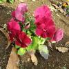 [PYP]環境美化委員会の活動「Happy  Smile  Garden」