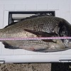 筏釣り、テンヤで50cmオーバーのチヌを釣る。
