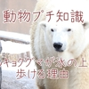 【プチ知識#2】ホッキョクグマが氷の上を歩ける理由