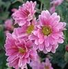 誕生花 1月14日 「スプレー菊」