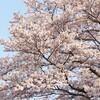 〈成峯〉満開の桜