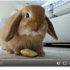 りんごをもぐもぐ食べるロップイヤーちゃん♥