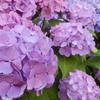 紫陽花の季節 Part 4