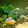 たなご抜かれない水草の植え方【モスコットン式】金魚藻植えてみた!