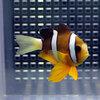 クマノミ【5匹】 海水魚 クマノミ 餌付け 15時までのご注文で当日発送【クマノミ】