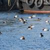 漁港の鴨たち 2017 1月