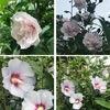 我が家で夏の花と言えばムクゲ.日本古来よりある夏の花の代表種の一つですね.  既に三分-四分咲き.季語では秋の花ですが,よく知られている斎藤茂吉の歌は,梅雨明けのムクゲを詠っているように思います.雨はれて心すがしくなりにけり窓より見ゆる白木槿のはな 斎藤茂吉