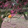 メジロを見たいなら梅を見に行こう!昔は飼えていたけど今は?