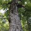 白神山地の巨木マザーツリー折れる直前 2018年最後の勇姿 アクセス紹介と訪問記