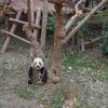 中国人の彼女と行く中国旅行 成都大熊猫繁育研究基地に行ってきたよ!