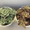【多肉植物】ブロンズ姫&白牡丹/5月~10月、5か月間の成長記録