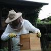 ニホンミツバチの採蜜 虫草農園流
