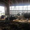 乳牛は何歳まで生きるんですか?:ウシの寿命は生産年齢