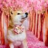 柴犬『きなこ』のお花見🌸換毛期!!太ってたんじゃなかったのね(^^;