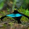 漆黒の羽毛をもつ極楽鳥