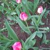 せっかく花が咲いても🌷