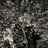 お花見は万博公園! #サクラ #万博公園 #お花見