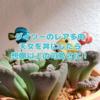 たにログ231  【ダイソーレア多肉】ゴツゴツした不思議な多肉の天女と姫天女!丼が可愛すぎ!
