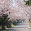 済州島(チェジュ島)春のおすすめスポット #西帰浦の桜並木をまとめてお届け♪