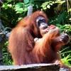 ♡シンガポール動物園で、オランウータンと朝ごはんを食べよう【はじめてのシンガポール2017②】