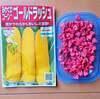トウモロコシの種まき~植え付け