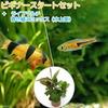 (熱帯魚 水草)ビギナースタートセット ラスボラ・エスペイ(6匹) +クラウンローチ(2匹) 北海道・九州・沖縄航空便要保温